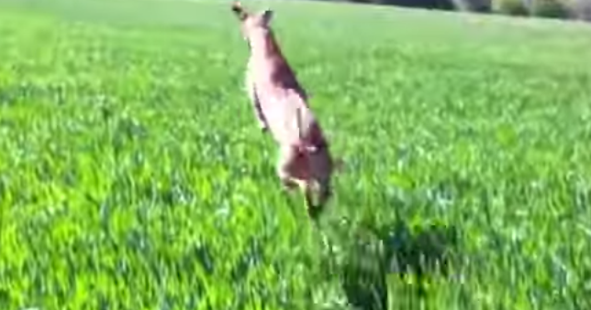 Dog Hops Around Like A Kangaroo